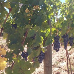 Vineyards-Elmali-Lykia-Wines-24