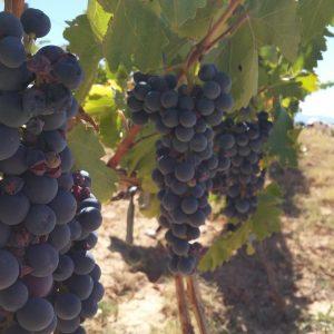 Vineyards-Elmali-Lykia-Wines-25