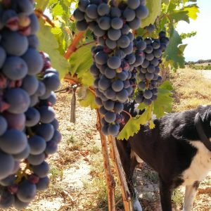 Vineyards-Elmali-Lykia-Wines-26