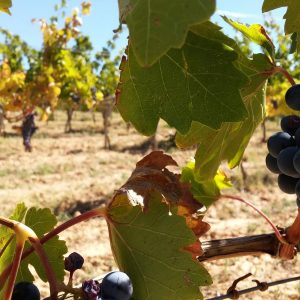 Vineyards-Elmali-Lykia-Wines-27