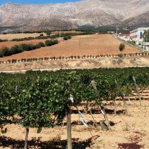 Vineyards-Elmali-Lykia-Wines-29