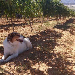 Vineyards-Elmali-Lykia-Wines-30