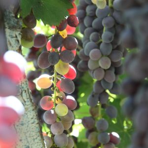 Vineyards-Elmali-Lykia-Wines-36