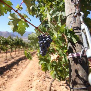 Vineyards-Elmali-Lykia-Wines-37