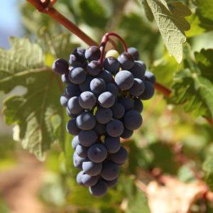Vineyards-Elmali-Lykia-Wines-38