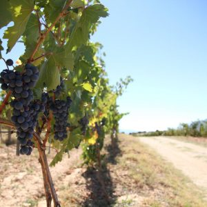 Vineyards-Elmali-Lykia-Wines-39