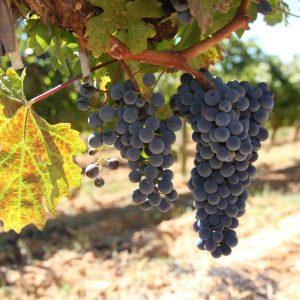Vineyards-Elmali-Lykia-Wines-40