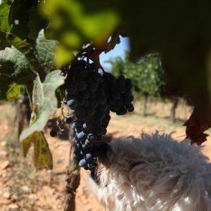 Vineyards-Elmali-Lykia-Wines-41
