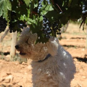 Vineyards-Elmali-Lykia-Wines-43