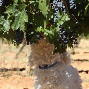Vineyards-Elmali-Lykia-Wines-44