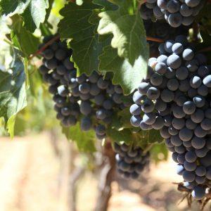 Vineyards-Elmali-Lykia-Wines-47